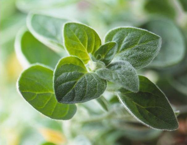Бізнес ідея – вирощування майорану