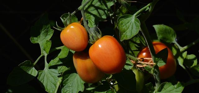 помідори  вирощування
