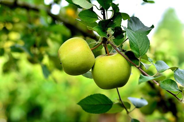 Бізнес ідея – вирощування яблук