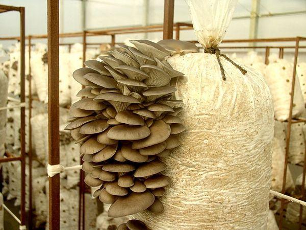 Бізнес ідея – вирощування глив